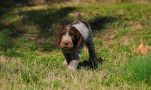 Spinone Italiano Temperament