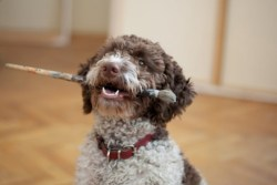 Were poodles created from lagotto romagnolo