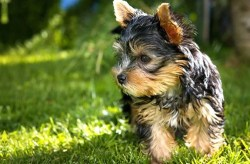 What is the best dog food for toy breeds puppies