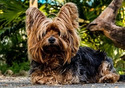 beautiful longhaired Yorkshire Terrier dog