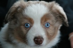 Adorable Australian Shepherd puppy with the most beautiful blue eyes