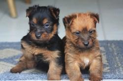 two amazingly cute Australian Terrier puppies