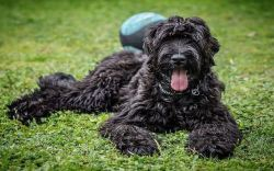 Black Russian Terrier being lazy on a hot day
