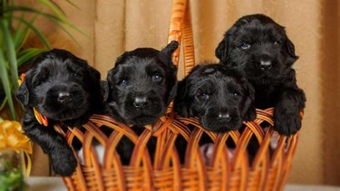 Four adorable black russian terrier puppies for sale in a basket