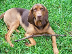 Bloodhound taking time from his stick to look at the camera for a picture