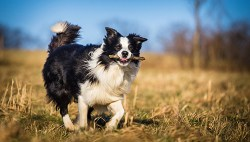 border collie running in the field with a stick in its mouth