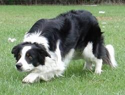 border collie dog in full stalk mode