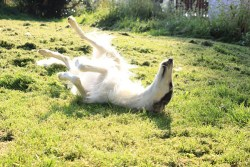 borzoi frolicking in the snow and enjoying herself