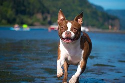 Boston Terrier dog running with the backdrop of a lake