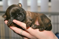 someone holding a tiny brussels griffon puppy in their hand