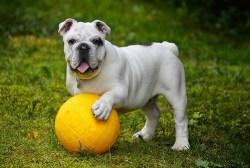 bulldog temperament