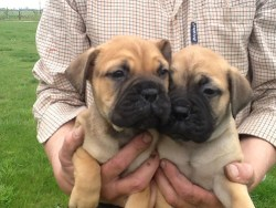 Breeder holding up two Bullmastiff puppies in his hands