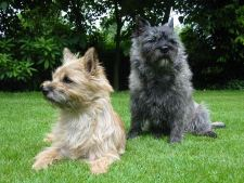two cairn terrier relaxing in the yard