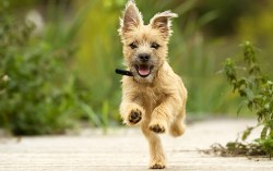 cairn terrier running and having fun