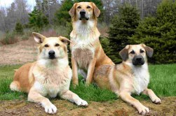 Group of Chinook dogs standing guard