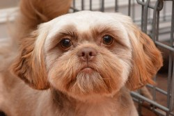 handsome brown Shih Tzu male looking into the camera like he knows he's taking a picture