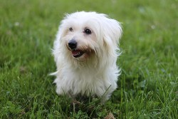 Coton de Tulear dog relaxing on the grass