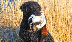 Curly Coated Retriever with a game fowl in its mouth