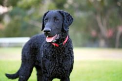 curly-coated retriever looking for work