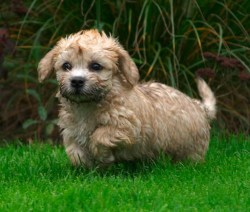 cute Dandie Dinmont Terrier puppy out and about enjoying the yard