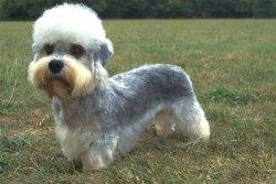 dandie dinmont terrier looking intelligent