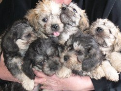 Someone holding a group of 6 Dandie Dinmont Terrier puppies in their arms