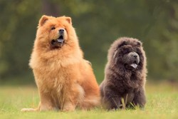 two chow chow dogs relaxing on the grass