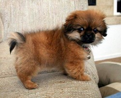 tibetan spaniel puppy standing on the couch