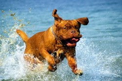 Image of Dogue de Bordeaux running and having fun in water.