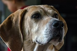 Image of English Foxhound temperament on display