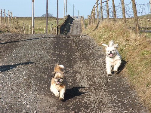 two shih Tzus running - exercising your shitzu