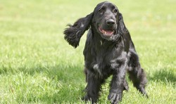 Image of a Field Spaniel dog running and frolicking