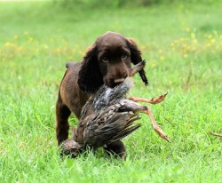 Field Spaniel puppy on its first hunt carrying a game fowl in its mouth