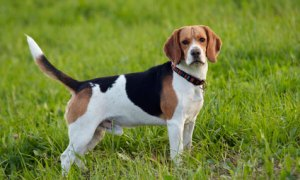 picture of foxhound - healthiest dog breeds