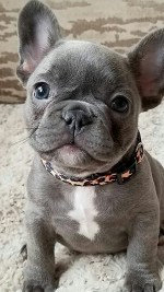 cute gray French bulldog puppy sitting down and looking too cute and wanting attention