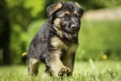 German Shepherd puppy running on a hot day enjoying the outside
