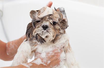 how to get rid of fleas on a shih tzu - shih tzu taking a bath