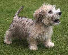 glen of imaal terrier price