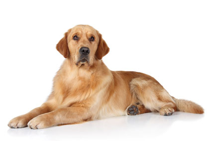 picture of golden retriever - large dog breeds
