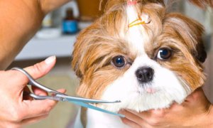 shih tzu puppy cut hairstyle