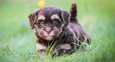 The cutest little Havanese puppy running in the grass