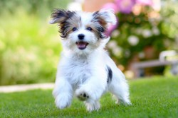 Havanese dog running and having fun