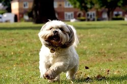 Shih Tzu running happily and freely in the park