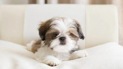how much does it cost to neuter a shih tzu