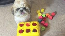 how smart is a shih tzu dog