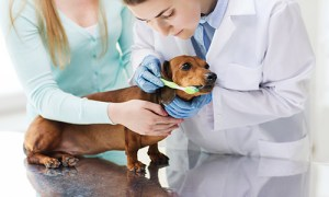 two veterinarians helping to brush the teeth of a Dacshund dog