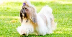 a graceful long coat Shih Tzu prancing around on green grass