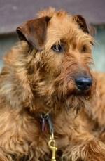 Irish Terrier temperament