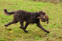 italian spinone dog on a hunt carrying a game fowl in its mouth