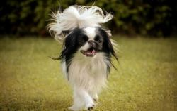 Japanese Chin in all its glory
